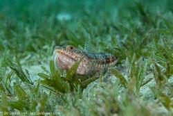 BD-121127-Aqaba-7282-Synodus-variegatus-(Lacepède.-1803)-[Variegated-lizardfish].jpg